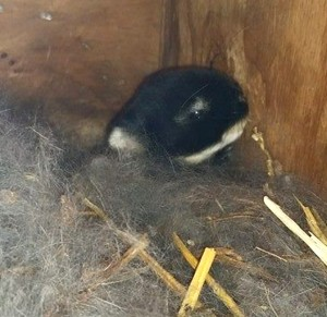 Mr fluffy Jr 12 days old
